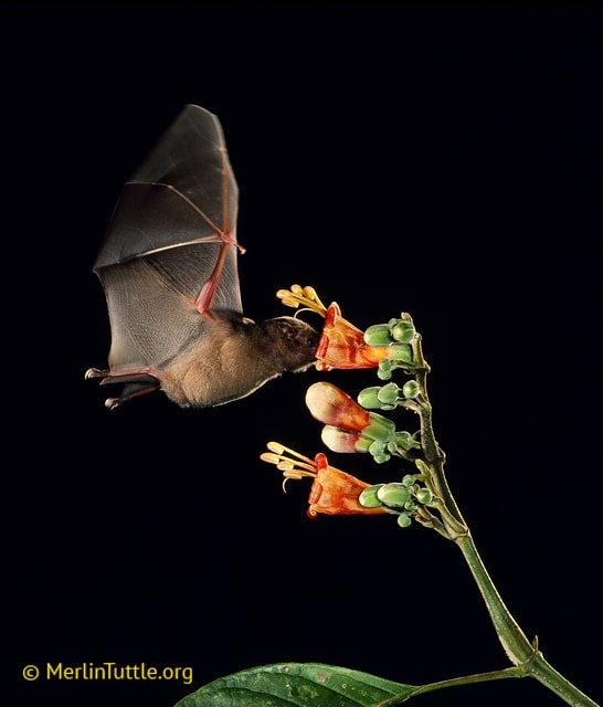 Commissarisi's long-tongued bat, Glossophaga commissarisi
